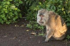 Monkey-Resting