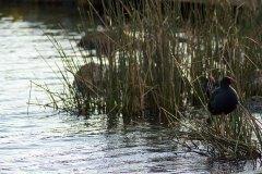 Water-Bird